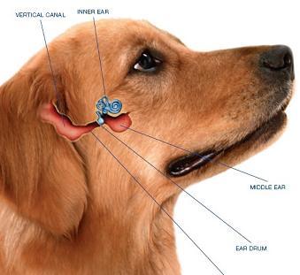 Anatomy of dogs ear
