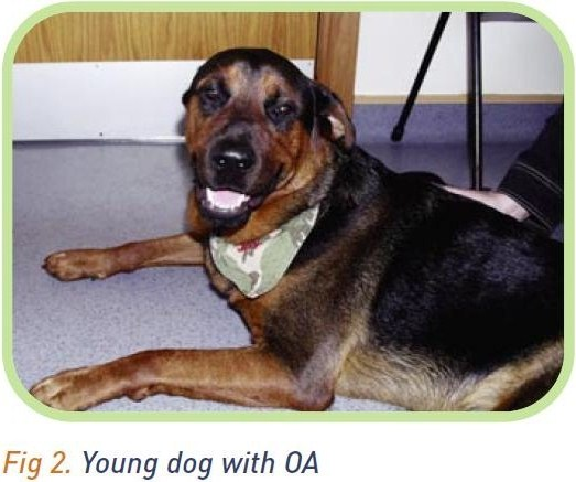 A young dog with OA