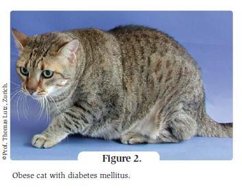 figure 2 - obese cat with diabetes mellitus