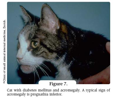 cat with diabetes mellitus and acromegaly. A typical sign of acromegaly is prognathia inferior