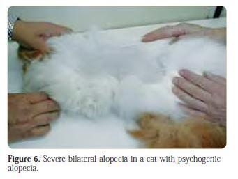figure 6 - severe bilateral alopecia in a cat with psychogenic alopecia