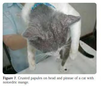 figure 7 - crusted papules on head and pinnae of a cat with notoedric mange